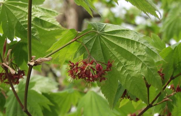 Acer japonicum japanischer ahorn pflanzenreich for Japanischer ziergarten