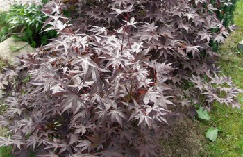Thumbnail Acer palmatum 'Bloodgood' – Roter Fächer-Ahorn