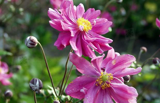 anemone hupehensis var japonica 39 bressingham glow 39 herbst anemone pflanzenreich. Black Bedroom Furniture Sets. Home Design Ideas