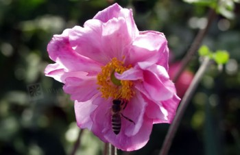 Thumbnail Anemone hupehensis var. japonica 'Mont Rose' – Herbst-Anemone