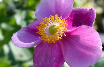 Thumbnail Anemone hupehensis var. japonica 'Ouvertüre' – Herbst-Anemone
