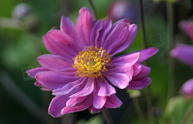 anemone hupehensis var japonica 39 pamina 39 herbst anemone pflanzenreich. Black Bedroom Furniture Sets. Home Design Ideas