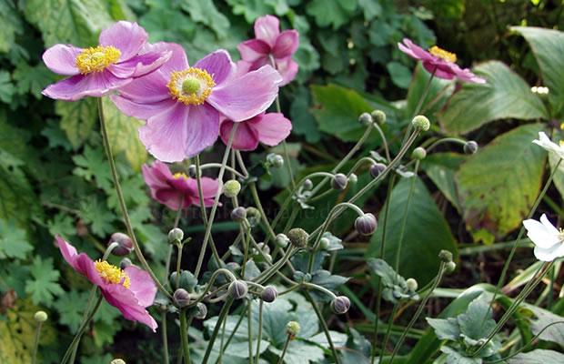 anemone hupehensis var japonica 39 rosenschatz 39 herbst anemone pflanzenreich. Black Bedroom Furniture Sets. Home Design Ideas
