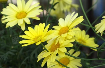 Thumbnail Argyranthemum frutescens 'Beauty of Nice' – Strauchmargerite
