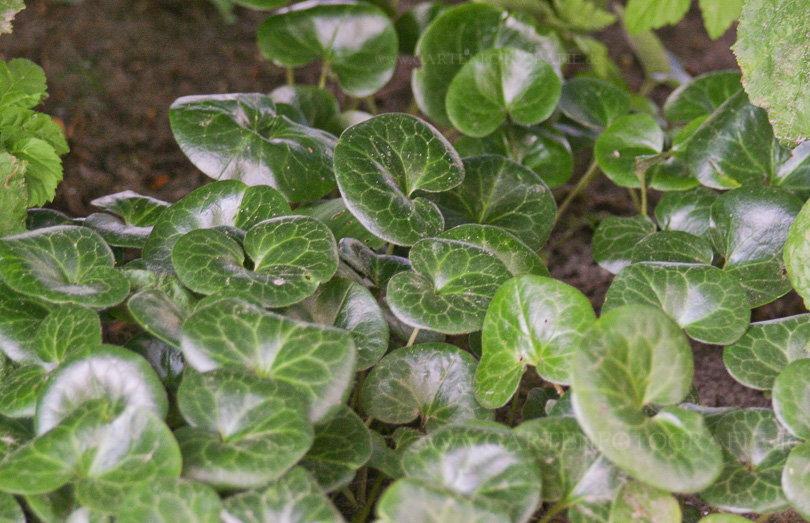 Fabelhaft Asarum europaeum - Heimische Haselwurz › PflanzenReich &OX_54