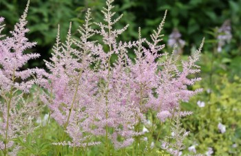 Thumbnail Astilbe x arendsii 'Europa' – Arends-Pracht-Spiere
