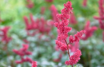 Thumbnail Astilbe x arendsii 'Fanal' – Arends-Pracht-Spiere
