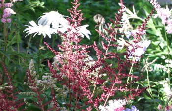 Thumbnail Astilbe x arendsii 'Glut' – Arends-Pracht-Spiere