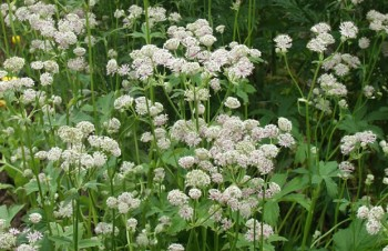 Thumbnail Astrantia major – Große Sterndolde