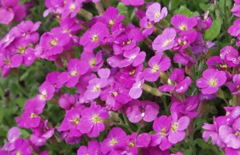 Thumbnail Aubrieta 'Royal Red' – Blaukissen