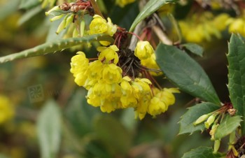 Thumbnail Berberis julianae – Julianes Berberitze