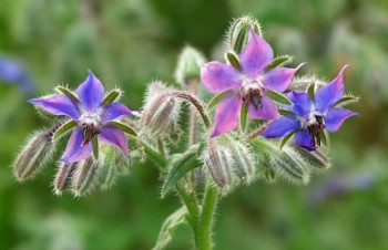 Thumbnail Borago officinalis – Borretsch