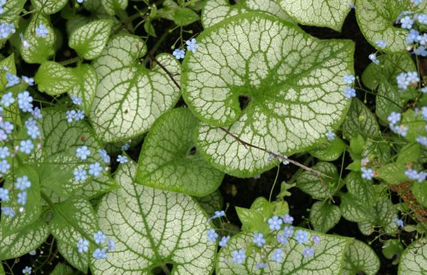 brunnera macrophylla 39 jack frost 39 kaukasus. Black Bedroom Furniture Sets. Home Design Ideas