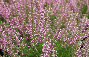 Calluna vulgaris 'Underwood'