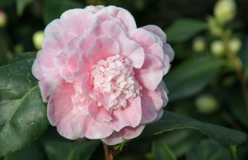 Camellia japonica 'Colombo'