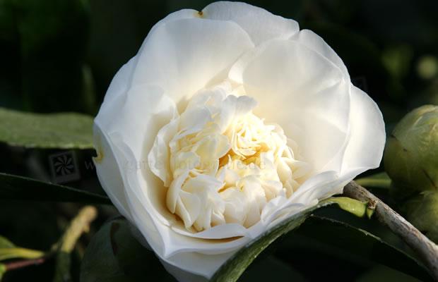 Camellia Japonica Elegans Alba Kamelie Pflanzenreich