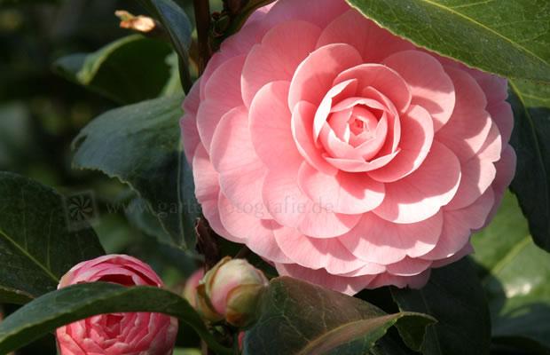 Camellia Japonica Frau Mina Seidel Kamelie Pflanzenreich