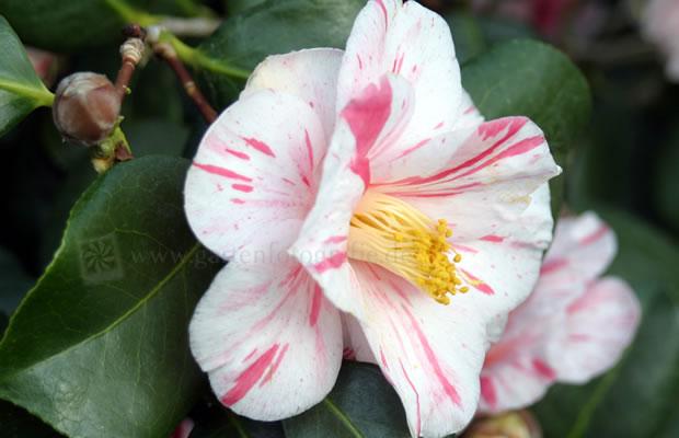 camellia japonica 39 tricolor de siebold 39 kamelie pflanzenreich. Black Bedroom Furniture Sets. Home Design Ideas