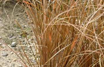 Carex flagellifera 'Bronze'
