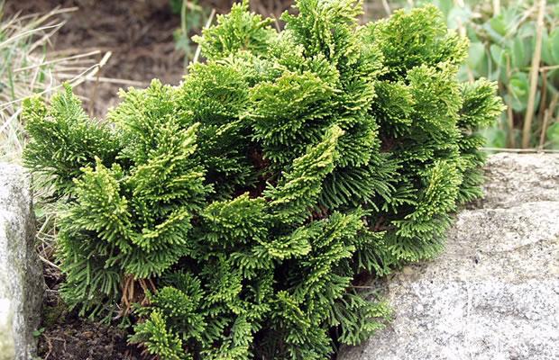 chamaecyparis obtusa 39 nana gracillis 39 hinoki scheinzypresse pflanzenreich