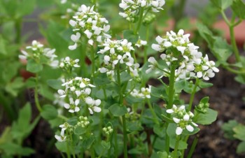 Thumbnail Cochlearia officinalis – Löffelkraut