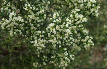 Thumbnail Colletia paradoxa – Ankerpflanze