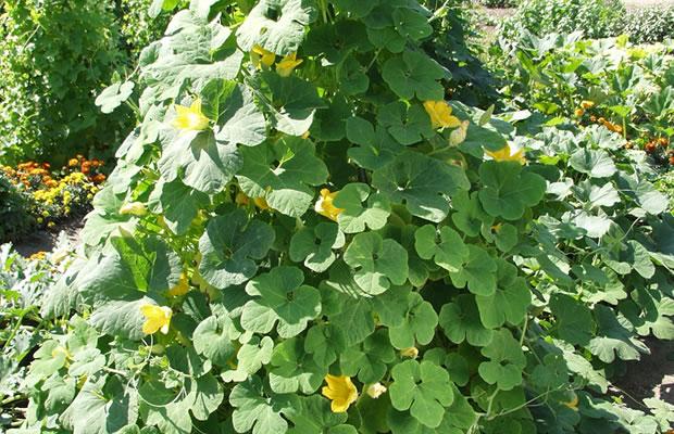 Cucurbita ficifolia - Feigenblatt-Kürbis › PflanzenReich