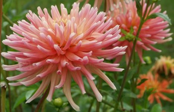 Dahlia 'Alfred Grille'