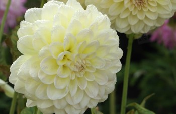 Thumbnail Dahlia 'Alloway Cottage' – Dahlie