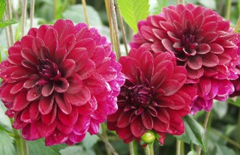 Thumbnail Dahlia 'New Beat' – Dahlie