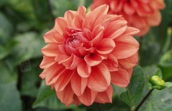 Dahlia 'Orange Nugget'