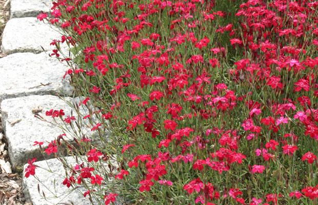 Dianthus deltoides 39 brilliancy 39 heide nelke pflanzenreich - Winterharte steingartenpflanzen ...