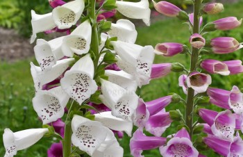 Thumbnail Digitalis purpurea 'Alba' – Weißer Fingerhut
