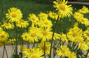 Thumbnail Doronicum plantagineum – Hohe Frühlings-Gemswurz