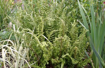 Thumbnail Dryopteris affinis 'Cristata' – Goldschuppenfarn