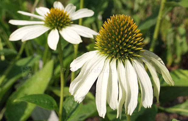 echinacea purpurea 39 alba 39 wei er sonnenhut pflanzenreich. Black Bedroom Furniture Sets. Home Design Ideas
