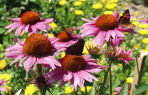 echinacea purpurea 39 magnus 39 roter sonnenhut pflanzenreich. Black Bedroom Furniture Sets. Home Design Ideas