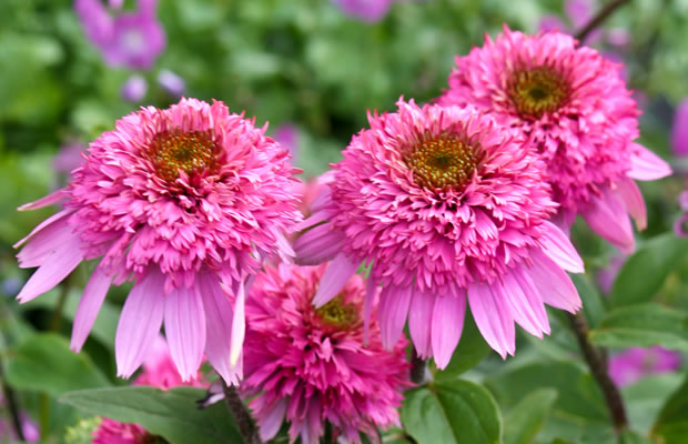 echinacea purpurea 39 razzmatazz 39 roter sonnenhut pflanzenreich. Black Bedroom Furniture Sets. Home Design Ideas