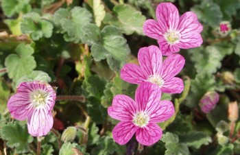 Thumbnail Erodium x variabile 'Bishop' – Reiherschnabel