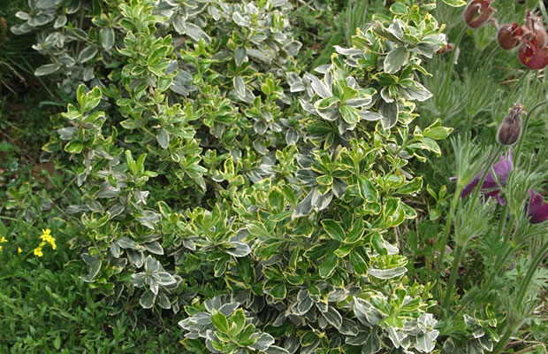 euonymus fortunei 39 emerald gaiety 39 kriechspindel pflanzenreich. Black Bedroom Furniture Sets. Home Design Ideas