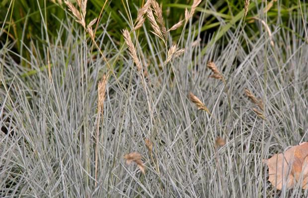 festuca ovina 'eisvogel' - schaf-schwingel › pflanzenreich, Gartenarbeit ideen