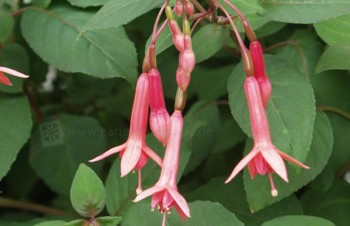 Thumbnail Fuchsia 'Billy Green' – Fuchsie