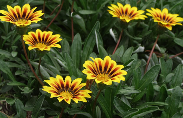 Bild von Gazania ringens 'New Magic' – Gazanie, Mittagsgold