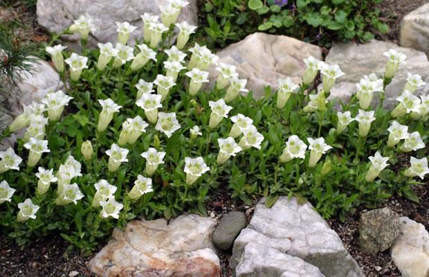 gentiana acaulis f alba wei er st ngelloser enzian pflanzenreich. Black Bedroom Furniture Sets. Home Design Ideas