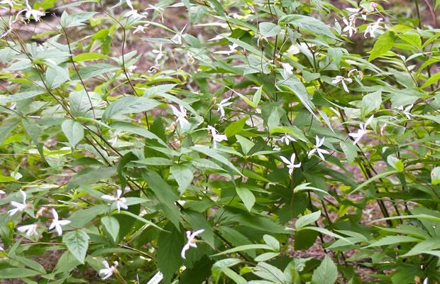 Gillenia Trifoliata Dreiblattspiere Pflanzenreich