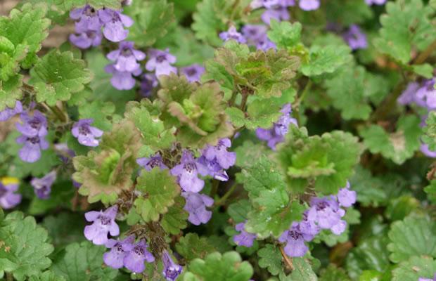 Glechoma hederacea - Gundermann › PflanzenReich