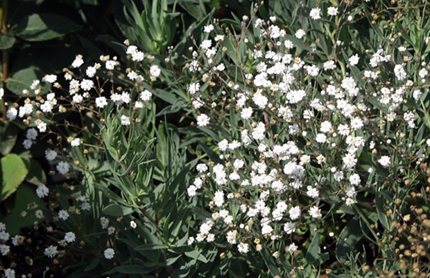 gypsophila paniculata rispen schleierkraut pflanzenreich. Black Bedroom Furniture Sets. Home Design Ideas