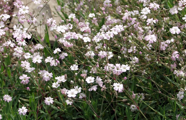 gypsophila repens 39 rosenschleier 39 kriechendes gipskraut pflanzenreich. Black Bedroom Furniture Sets. Home Design Ideas