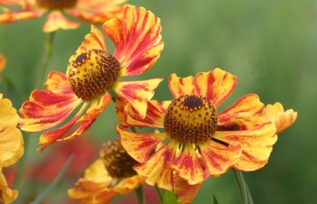 Thumbnail Helenium autumnale 'Rotgold' – Herbst-Sonnenbraut
