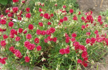 Thumbnail Helianthemum 'Amabile Plenum' – Sonnenröschen